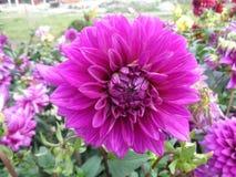 Daliya blomma Arkivbilder