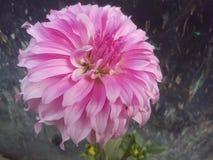 Daliya kwiat Zdjęcia Stock
