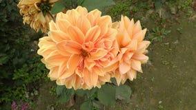 Daliya kwiatu fotografii podpis od normalna obrazy royalty free