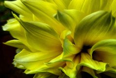 Daliya. Yellow daliya flower petals in the dark Stock Photography