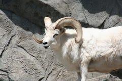 Dall的绵羊(羊属dalli dalli) 免版税库存照片