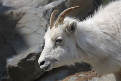 dall πρόβατα Στοκ Εικόνα