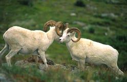 dall affichant des moutons de mémoires vives Image stock