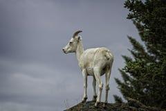Dall-Ooi de van Alaska stock afbeelding