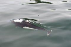 Free Dall Porpoise Stock Photos - 11589483