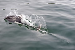 Dall porpoise in Alaska Stock Images