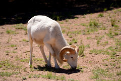Dall Ram Stock Photo