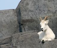 Dall's Sheep. A Dall's sheep lying on a rock Stock Image