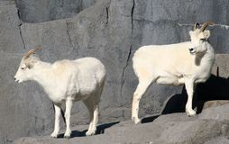 Dall's Sheep. Two Dall's sheep standing on a rock Stock Images