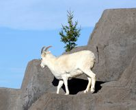 Dall's Sheep. A dall's sheep on top of a cliff Royalty Free Stock Image