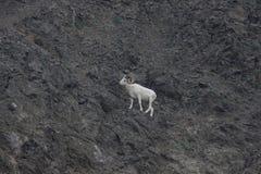 Dall`s sheep Ovis dalli dalli Royalty Free Stock Image