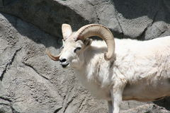 Dall's sheep (Ovis dalli dalli) Royalty Free Stock Photos