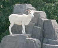 Dall's Sheep on a Rock. A Dall's sheep standing on a rock against a background of trees Stock Photos