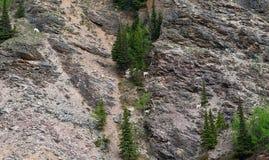 Dall Schafe in Alaska Stockbilder