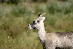 Dall Sheep Royalty Free Stock Image
