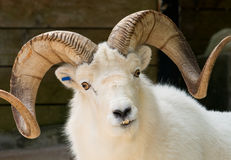 Dall Sheep. Photograph of a Dall Sheep staring straight in to the camera Stock Photo