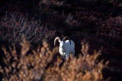 Dall Sheep royalty free stock photo