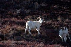Dall Sheep Stock Photography