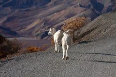 Dall sheep stock image