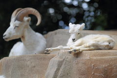 Dall sheep Royalty Free Stock Images