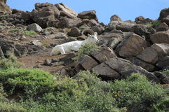 Dall Sheep. A young Dall ram in Denali National Park Stock Photo