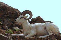 Dall Sheep Stock Photo
