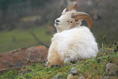 Dall sheep Stock Image