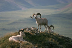 Dall Sheep in Alaska. On top of mountain stock photos