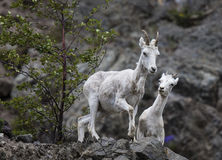 Dall sheep Alaska stock image