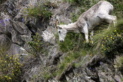 Dall sheep Alaska Royalty Free Stock Photo
