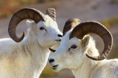 Dall sheep alaska Royalty Free Stock Image