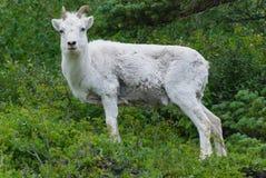 Dall Sheep royalty free stock image