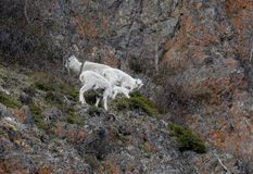 Dall Sheep and a baby feed in Alaska. A group of Dall Sheep and a baby feed in Alaska. Dall sheep are found in the Kenai Mountains, the Tok area, the Chugach stock photography
