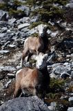 Dall sheep with baby Royalty Free Stock Photo