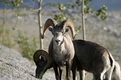 Dall Sheep Bull Stock Images