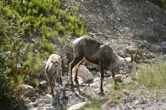 Dall Sheep and a Calf royalty free stock photography
