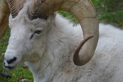 Dall Sheep Stock Photography