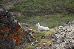 Dall sheep at Denali National Park. In Alaska royalty free stock images