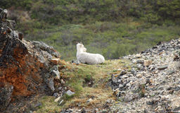 Dall sheep at Denali National Park. In Alaska royalty free stock image