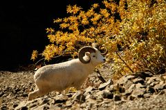 Dall sheep in Denali NP, Alaska, US. White rare Dall sheep in Denali NP as a subject of protection, Alaska, US stock photos