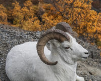 Dall Sheep in Denali. A dall sheep ram sits near the road in Denali National park , in the fall Stock Images