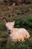 Dall Sheep Ewe Stock Image