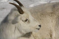 Dall Sheep Ewe royalty free stock photos