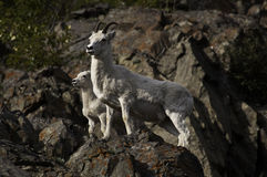 Dall Sheep Ewe and Lamb. A Dall sheep ewe and lamb come down the hilllside of Turnagain Arm at dusk for a mineral lick Stock Images