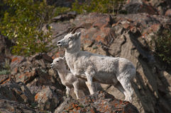 Dall Sheep Ewe and Lamb. A Dall sheep ewe and lamb come down the hilllside of Turnagain Arm at dusk for a mineral lick stock photos
