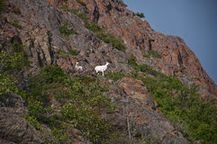 Dall Sheep Ewe and Lamb Stock Images