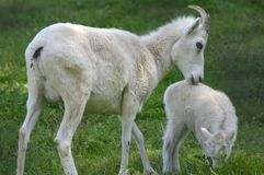 Dall Sheep Ewe And Lamb. Winsome summer capture of a Dall sheep ewe and her lamb, standing close together in a lush green meadow Royalty Free Stock Images