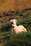 Dall Sheep Ewe Yawning. A bedded dall sheep ewe with a big yawn royalty free stock images