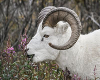 Dall Sheep feeding. A Dall Sheep ram feeds on flowers in Denali National Park in Alaska Stock Images