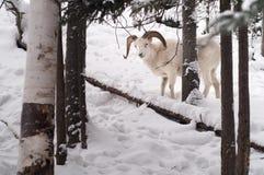 Dall Sheep Keeps An Eye On Me In The Chugach Range Of Alaska Royalty Free Stock Image